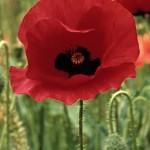 poppy-flower-13