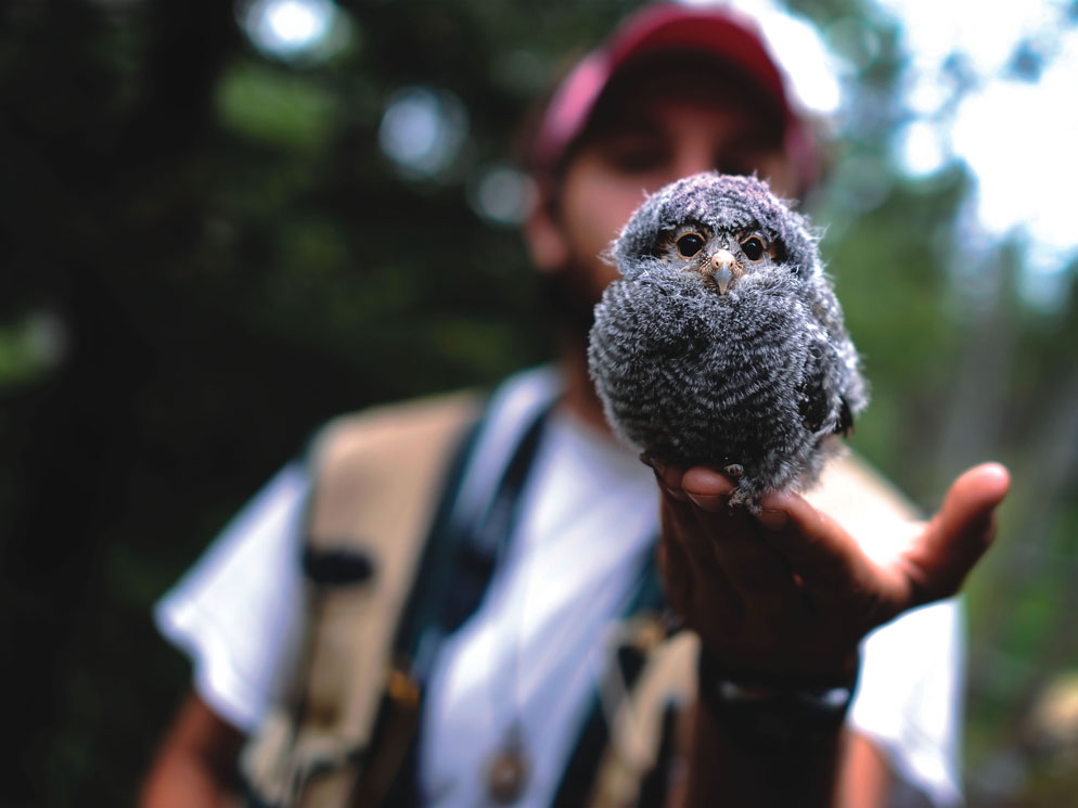 Colorado College Flammulated Owl Project researcher Collin Knauss holds onto an owlet before weighing and taking wing measurements. This owl is just a few days away from leaving the nest.