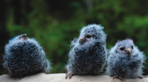 Three baby flammulated owls sit on the leg of Colorado College Flammulated Owl Project researcher Ross Calhoun as he prepares to weigh them. Project leader and CC Professor Brian Linkhart has been working with the flammulated owl for the past 33 years in an attempt to better understand the threatened species.