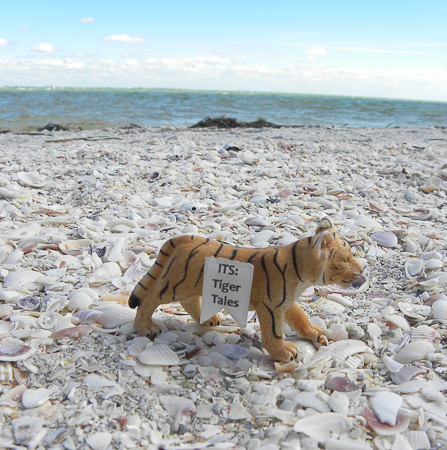 Baby T on the Gulf Coast's Sanibel Island, the seashell capital of the world.  Watch out, those shells are tough on the toes!
