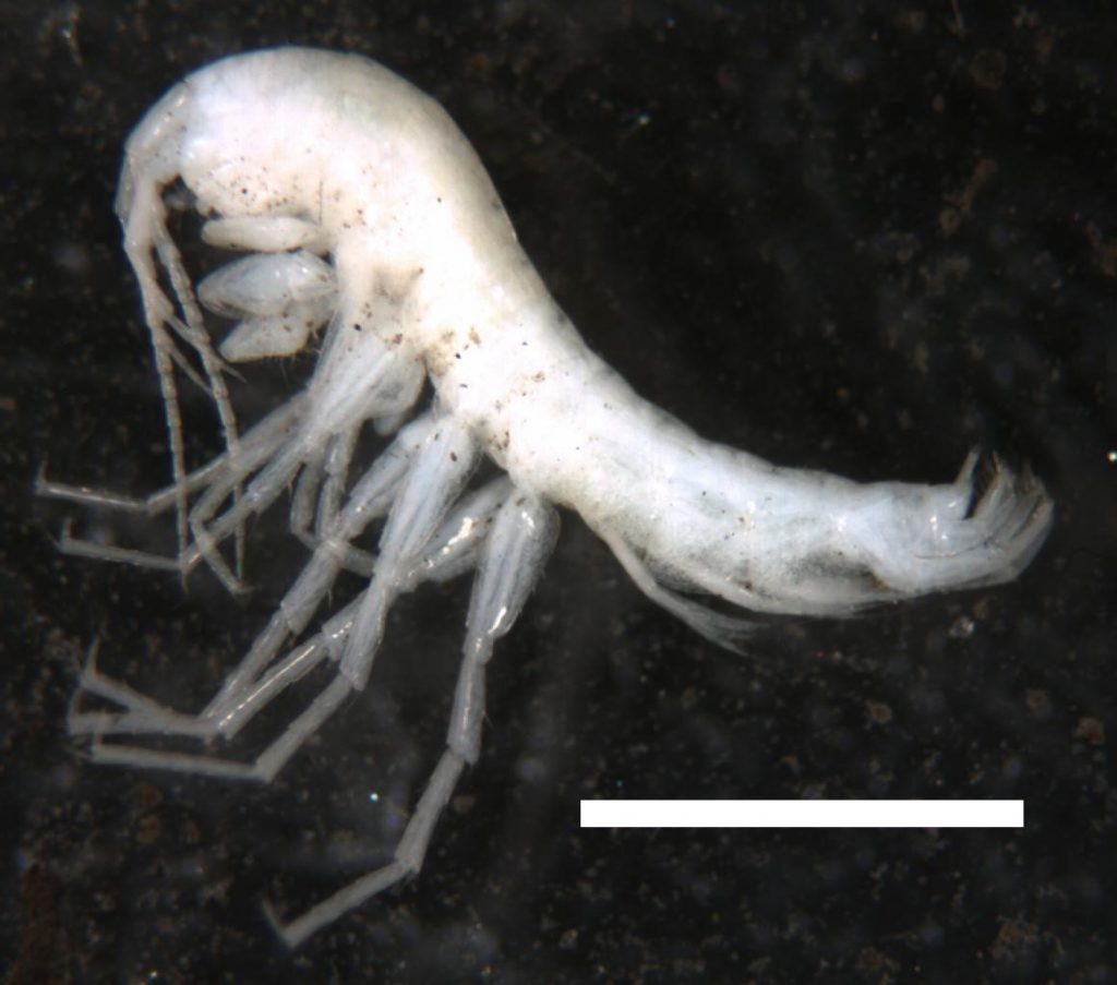 groundwater amphipods steve taylor